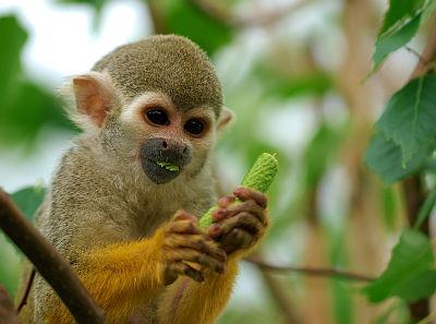 Monkey - Saimiri Sciureus (by Luc Viatour)